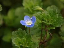 蓝色婆婆纳花朵
