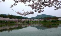 日本樱花胡泊倒影风景