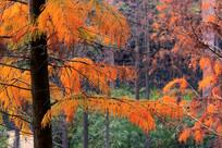 深秋落羽杉