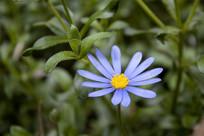 一朵蓝色的雏菊