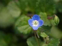 一朵蓝色婆婆纳花