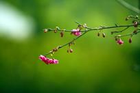 樱花树含苞待放