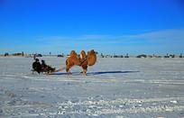 拉爬犁的骆驼
