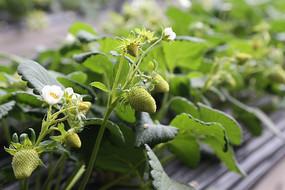 生长中的草莓