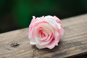 粉红色的玫瑰花