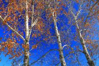 树林黄叶蓝天