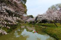 太湖鼋头渚水上樱花