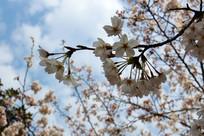 天空下的樱花