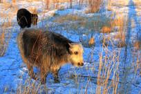 雪地中吃草的牦牛
