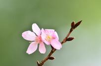 一枝粉嫩的小花特写图片