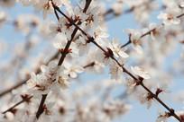 交叉的桃花枝