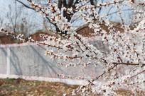 墙外的桃花