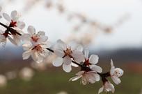 一枝桃花的特写
