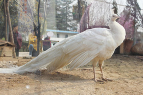 白孔雀侧面