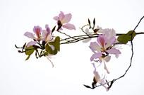 白色背景拍摄紫荆花特写