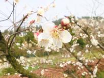 白色残梅花摄影图