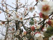 白色梅花风景摄影图