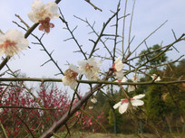 白色梅花景摄影图