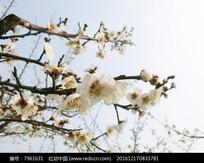 白色梅花枝头摄影图