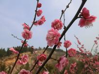 春季红色梅花摄影图