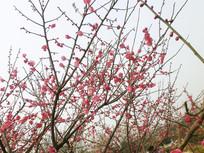 春天盛开的红色梅花
