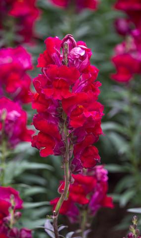 红色大花飞燕草