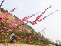 红色梅花景摄影图