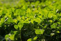 绿色护眼的三叶草背景