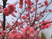 满满的红色梅花摄影图