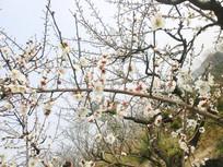 满枝白色梅花摄影图