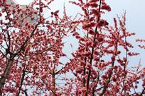 茂密的桃花