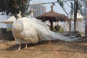 美丽白孔雀