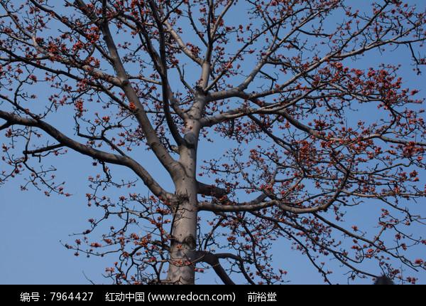 原创摄影图 动物植物 树木枝叶 攀枝花树