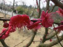 三朵红色梅花摄影图