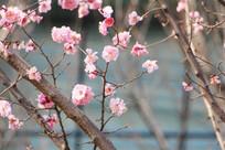 三月粉色桃花