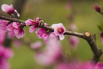 三月桃花红