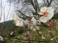 盛开的白色梅花