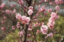 盛开的粉色桃花