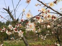 数支白色梅花摄影图