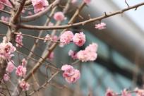 桃花枝上的粉桃花