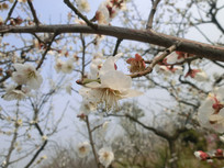 微距白色梅花摄影图