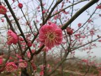 微距红色梅花摄影图