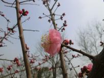 微距盛开的红色梅花摄影图