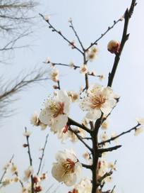 仰视白色梅花摄影图