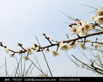 一支白色梅花摄影图