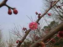 一支红色梅花摄影图