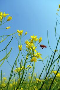 油菜花丛中小蜜蜂