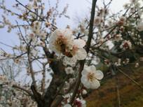 有蜜蜂的白色梅花摄影图
