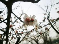 早春白色梅花摄影图