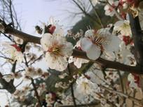 白色梅花春色